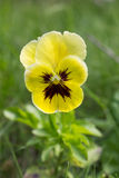 Lonely yellow viola Royalty Free Stock Image