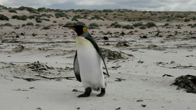 Lonely young King Penguin ist walking on the beach stock video