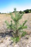 Young spruce juicy in the field stock photography