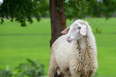 Lonely young sheep Stock Photography