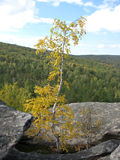 Lonely young silver birch with the turned yellow foliage at top Royalty Free Stock Image
