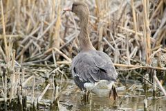 Lonely young white-fronted goose. Maybe Lacked from the pack. Maybe injured Stock Photography