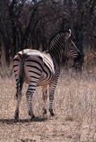 Lonely zebra Stock Photography