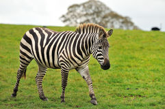 A lonely zebra Royalty Free Stock Images