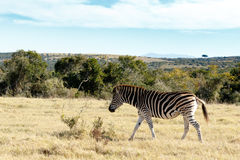 Lonely Zebra. Burchell's zebra is a southern subspecies of the plains zebra. It is named after the British explorer and naturalist William John Burchell Royalty Free Stock Image