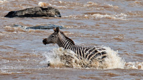 Lonely zebra crossing the river Mara. Masai Mara Game Reserve, Kenya Royalty Free Stock Photography