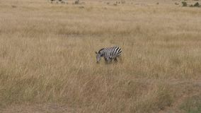 Lonely zebra nods his face, standing in the tall, dry grass of African savannah stock video