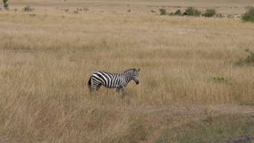 Lonely zebra nods his face, grazing in the tall dry grass of african savannah stock video