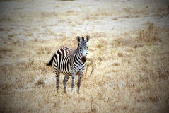 Lonely zebra picture with vignetting effect Royalty Free Stock Photos