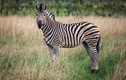 Lonely Zebra Stock Photos