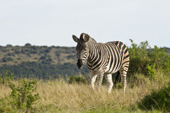 Lonely zebra walking through dry grass Royalty Free Stock Image