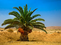 Lonelyl palm with dates in  Negev Royalty Free Stock Images