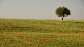 Lonelyness. A single tree on a hill in tuscany Stock Image