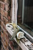 LonelyTulip on old Window Sill royalty free stock photography
