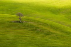 Loner tree. A lone tree on hills in Tuscany, Italy. Landscape photo full of elements of visual design as form, texture, shape, lines. The hills are covered in Royalty Free Stock Image