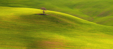 Loner tree panorama. A lone tree on hills in Tuscany, Italy. Panoramic wide format photo. The landscape is full of elements of visual design as form, lines Royalty Free Stock Image