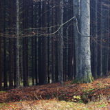 Lonesome beech in coniferous forest. Lonesome beech in coniferous colorfull autumn forest Royalty Free Stock Images