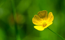 A lonesome buttercup Royalty Free Stock Photos