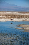 Lonesome Flamingo Stock Photos