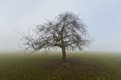 Lonesome fruit tree in winter in fog standing on grassland Royalty Free Stock Image