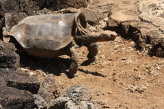 Lonesome George Royalty Free Stock Photos
