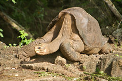 Lonesome George Galapagos Stock Photo