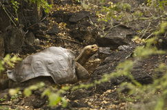 Lonesome George - Giant Tortoise Royalty Free Stock Photos