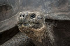 Lonesome George head shot close up royalty free stock photo