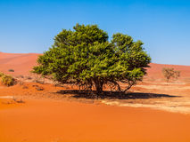 Lonesome green tree in the desert Stock Photos