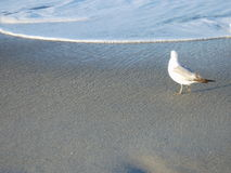 Lonesome Gull. A single gull, standing in the surf, looking out to sea stock photography