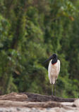 A lonesome Jabiru Stock Photography