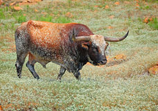 Lonesome Longhorn Royalty Free Stock Images