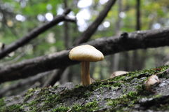 A lonesome mushroom Royalty Free Stock Photography