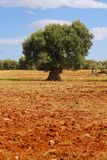 Lonesome olive tree Royalty Free Stock Image