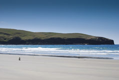 A lonesome penguin on beach in Dunedin Stock Photography