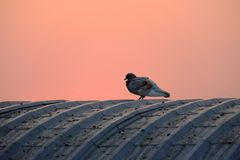 A lonesome pigeon standing on the top of a peir roof stock photos