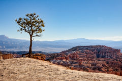 Lonesome Pine on the Edge of Bryce Canyon Royalty Free Stock Photography
