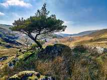 The Lonesome Pine Royalty Free Stock Images