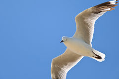 A Lonesome Seagull stock image