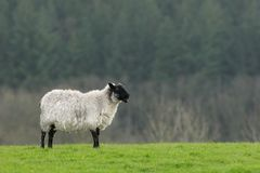 Lonesome Sheep Stock Photo