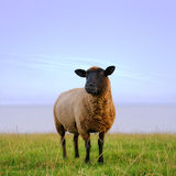 The lonesome sheep Royalty Free Stock Photo