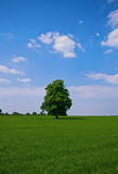 Lonesome tree. Lone some standing tree on a nice green pasture and blue sky with clouds in the back Royalty Free Stock Image