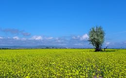 Free Lonesome Tree In Colza Field , Qazvin Iran Royalty Free Stock Photography - 159739497