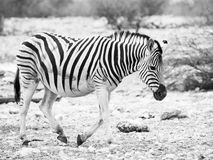 Lonesome zebra walk Stock Photo