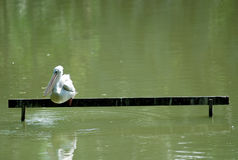 Loney Pelican. A lonely pelican seating on a wooden bench at a lake Stock Photos