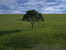 Loney Tree in Green Field Stock Photos