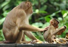 Long adulte féminin suivi de macaque avec la chéri, Bornéo Photographie stock libre de droits