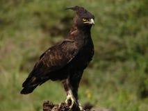 Long aigle crêté image libre de droits