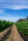 Long Aisle of Grapes Stock Images