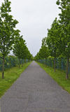 Long alley with young lime trees Royalty Free Stock Image